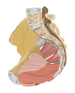 Beckenbodenmuskulatur-Seitenansicht